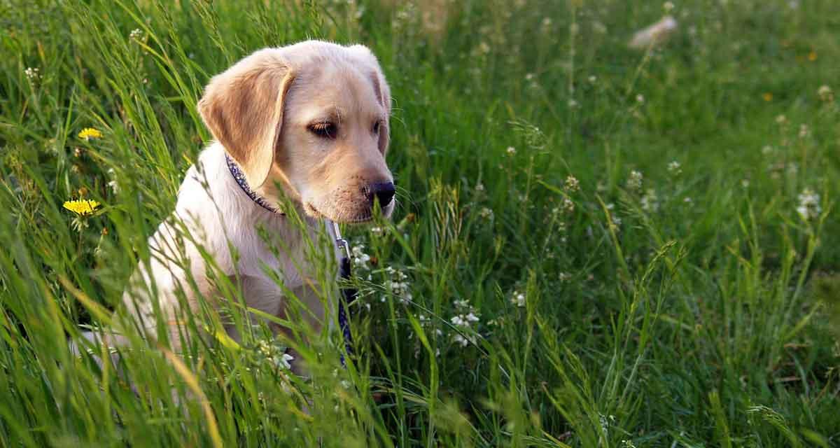 Labrador in de natuur