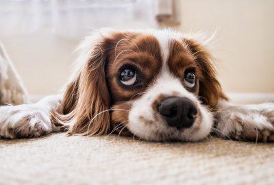 stress bij een hond